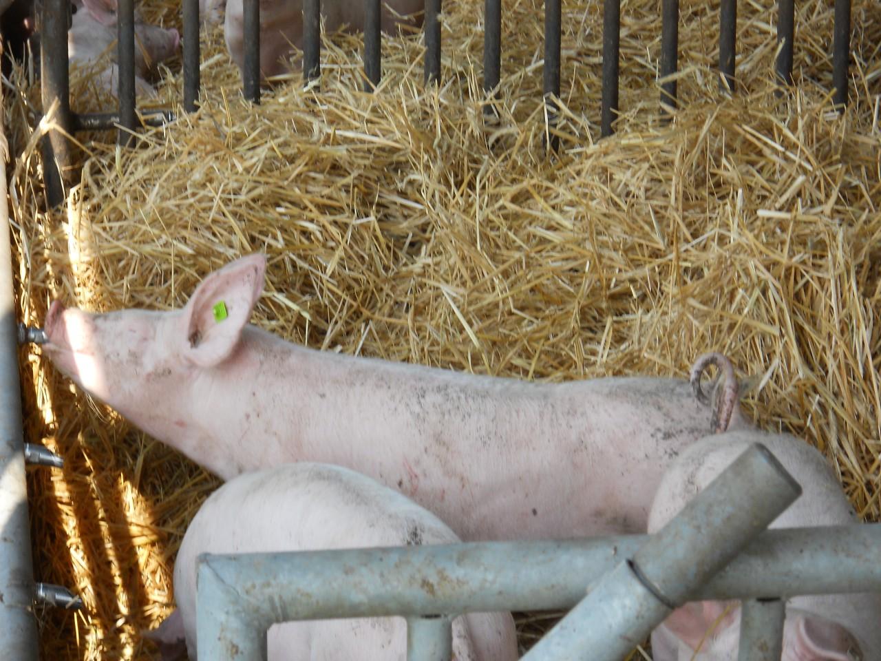 schweine grob zerlegt